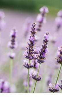 L'Oréal Paris Botanicals Lavender pred-šampónová starostlivosť pre citlivú pokožku hlavy