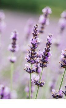 L'Oréal Paris Botanicals Lavender šampon pro citlivou pokožku hlavy