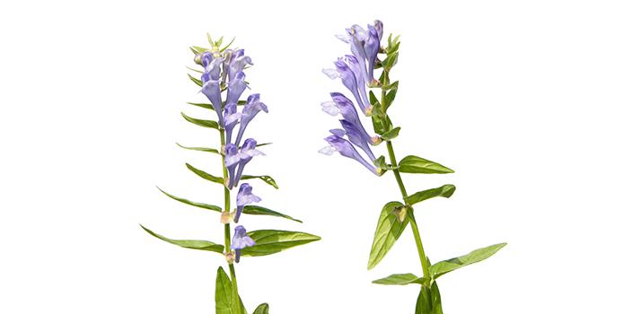 Anti-age - Scutellaria baicalensis