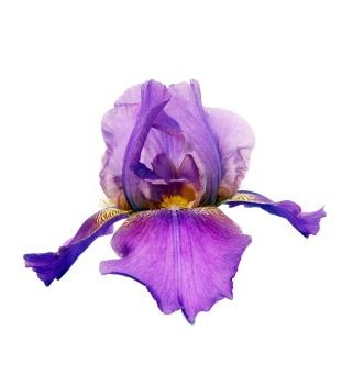 perfume de iris