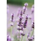 L'Oréal Paris Botanicals Lavender Shampoo für empfindliche Kopfhaut
